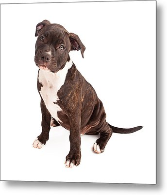 Pit Bull Puppy Black And White Metal Print by Susan Schmitz
