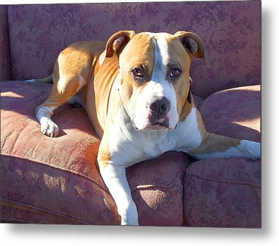 Pitbull On A Couch Metal Print by Ritmo Boxer Designs