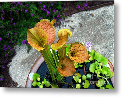 Pitcher Plants Metal Print by Allen Carroll