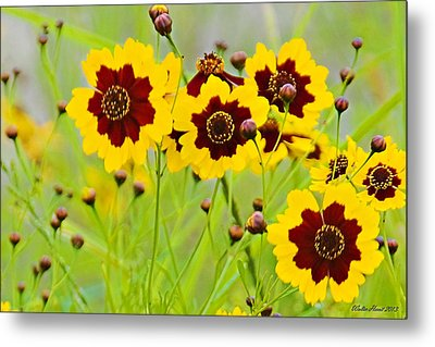 Plains Coreopsis Metal Print by Walter Herrit