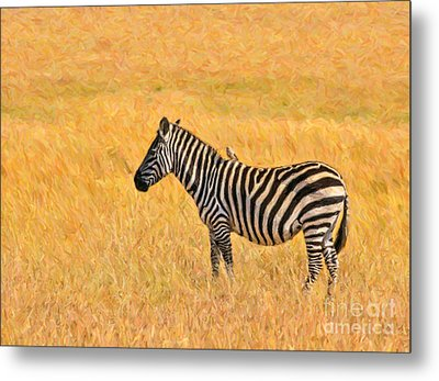 Plains Zebra Equus Quagga In Red Oat Grass Metal Print
