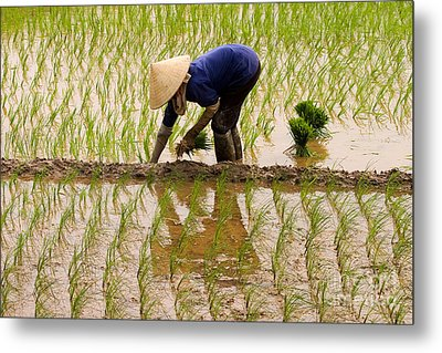 Planting Rice Metal Print by J L Woody Wooden