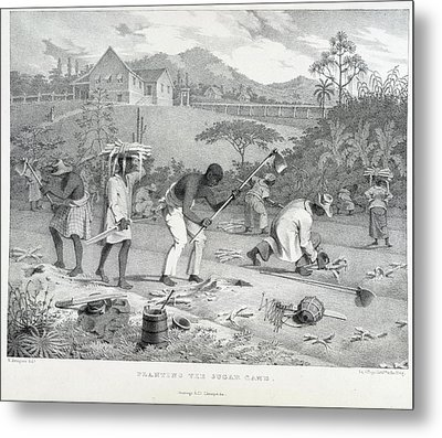 Planting The Sugar Cane Metal Print by British Library