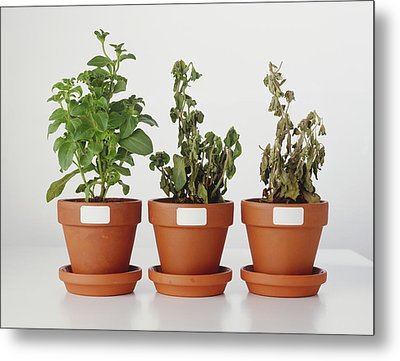 Plants Affected By Acid Rain Metal Print by Dorling Kindersley/uig