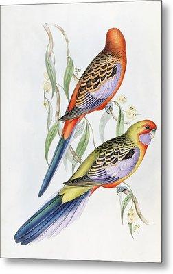 Platycercus Adelaidae From The Birds Of Australia Metal Print