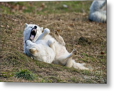 Metal Print featuring the photograph Playful Arctic Wolves by Wolves Only