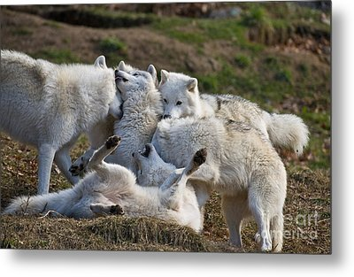 Metal Print featuring the photograph Playful Pack by Wolves Only