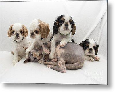 Playful Puppies Metal Print