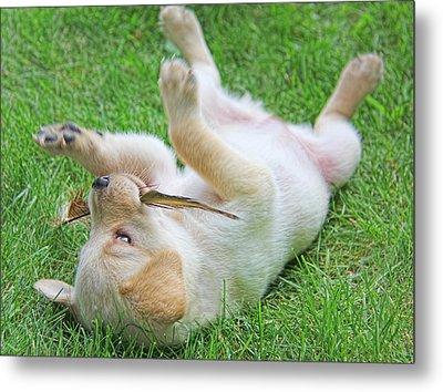 Playful Yellow Labrador Retriever Puppy Metal Print by Jennie Marie Schell