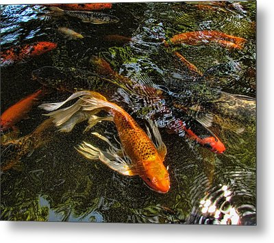 Playing Koi With Me Metal Print by Shannon Story