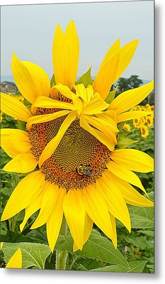 Pleading Sunflower Metal Print