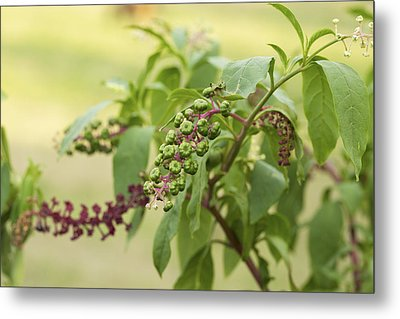 Metal Print featuring the photograph Pleasing To The Eye - Pokeweed Vine Art Print by Jane Eleanor Nicholas