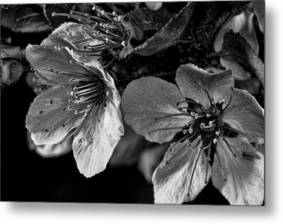 Metal Print featuring the photograph Plum Blossoms   Black   White by Robert Culver