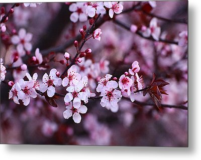 Plum Blossoms Metal Print by Lynn Hopwood