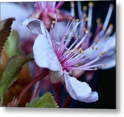 Metal Print featuring the photograph Plum Blossoms by Robert Culver