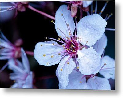 Metal Print featuring the photograph Plum Tree Blossom IIi by Robert Culver