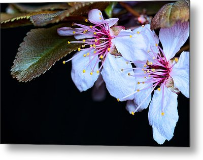 Metal Print featuring the photograph Plum Tree Blossom Iv by Robert Culver