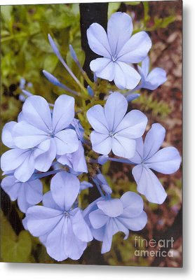 Plumbago Auriculata Or Cape Wort Metal Print by Rod Ismay