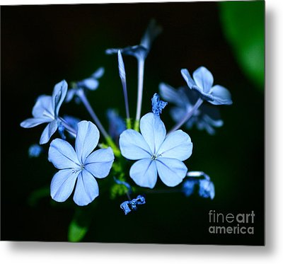 Plumbago Blue Metal Print by Cathy Dee Janes