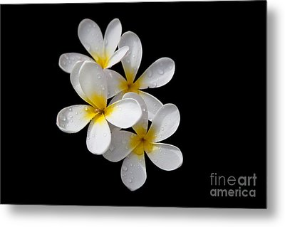Metal Print featuring the photograph Plumerias Isolated On Black Background by David Millenheft