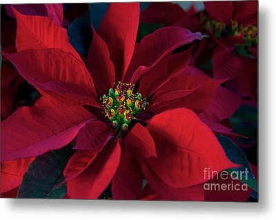 Poinsettia All Profits Go To Hospice Of The Calumet Area Metal Print