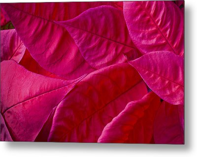 Poinsettia Leaves 1 Metal Print by Rich Franco