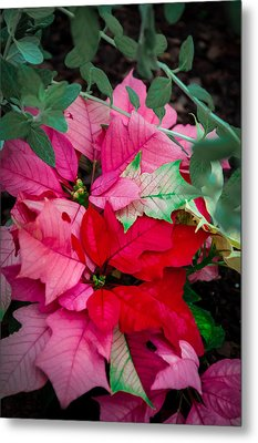 Poinsettias In Maturation Metal Print by Gene Sherrill