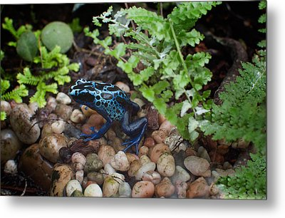 Poison Dart Frog Metal Print by Carol Ailles