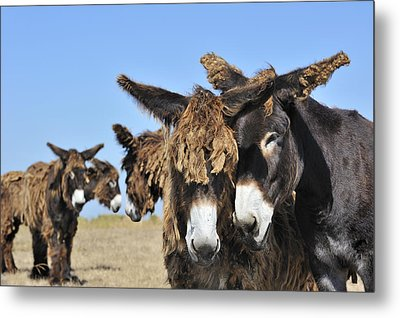 Metal Print featuring the photograph Poitou Donkey 3 by Arterra Picture Library