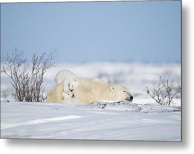 Polar Bear Cubs Play On Mothers Back Metal Print