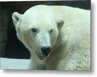 Polar Bear Head Shot Metal Print by John Telfer