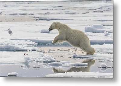 Polar Bear Jumping  Metal Print by Peer von Wahl
