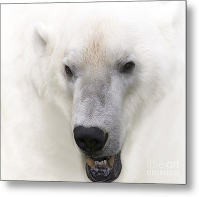 Polar Bear Portrait Metal Print by Heiko Koehrer-Wagner