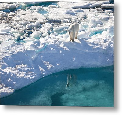 Polar Bear Reflection Metal Print by June Jacobsen