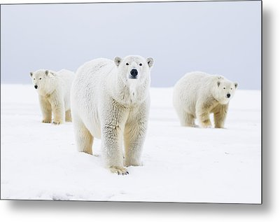 Polar Bear Sow With Two 2-year-old Cubs Metal Print by Steven Kazlowski