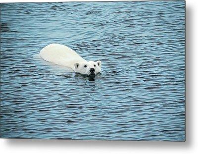 Polar Bear Swimming Metal Print by Peter J. Raymond