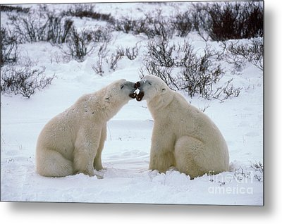 Polar Bears Sparring Metal Print by Francois Gohier