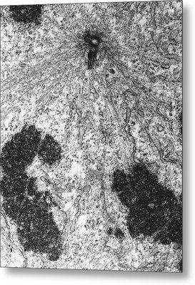 Pole Of Mitotic Spindle Tem Metal Print by David M. Phillips