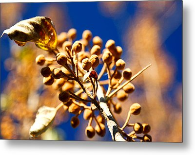 Pollyana Seed Pods Metal Print by Christopher McPhail