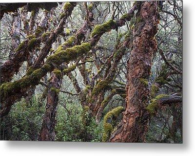 Polylepis Forest Cordillera Blanca Peru Metal Print