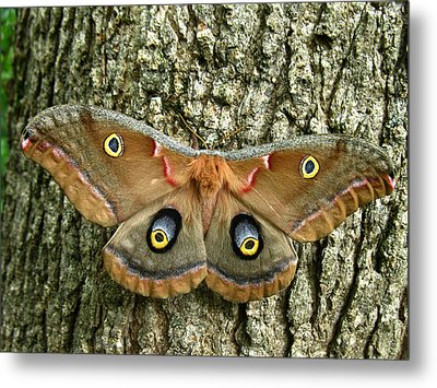 Metal Print featuring the photograph Polyphemus Moth by William Tanneberger