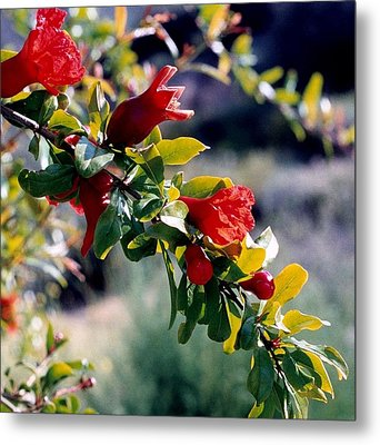 Pomegranate Forming Metal Print by Kathy Bassett