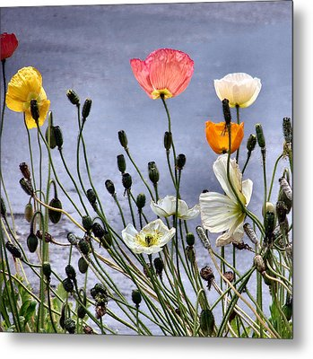 Poppies Metal Print by Dana Patterson