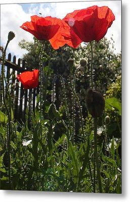 Poppies In The Sun Metal Print by Stephen Norris
