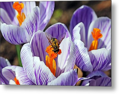 Metal Print featuring the photograph Popping Spring Crocus by Debbie Oppermann