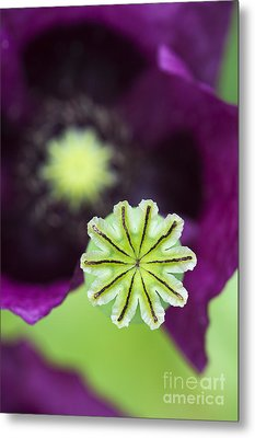 Poppy Abstract Metal Print by Tim Gainey