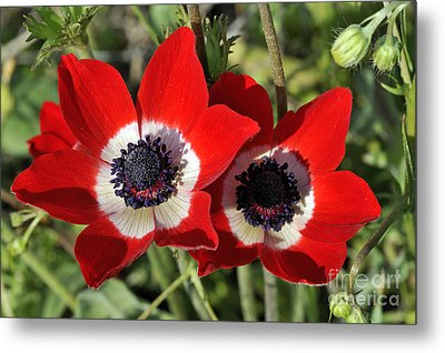 Metal Print featuring the photograph Poppy Anemones by George Atsametakis
