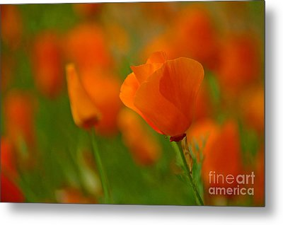 Metal Print featuring the photograph Poppy Art by Nick  Boren