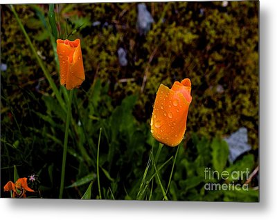 Poppy Drop Metal Print by Tim Rice