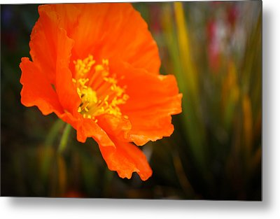 Poppy Emerges Like The Sun Metal Print by Ronda Broatch